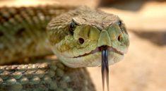 serpent a sonnette